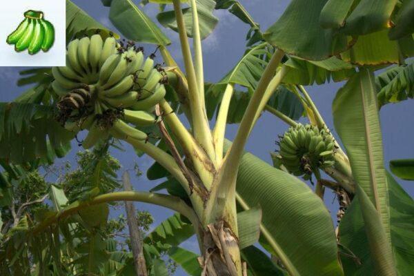 Kandarian Banana Plant