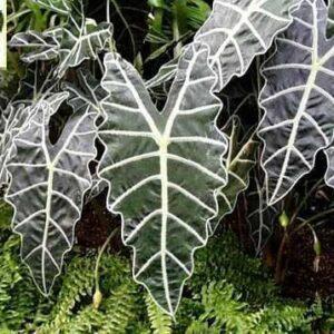 Purpley Plant
